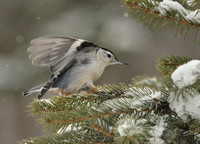 Nuthatch Landing