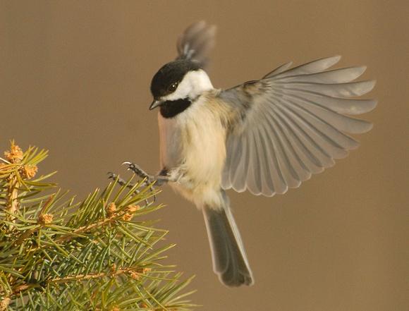 Chickadee landing - photo#3